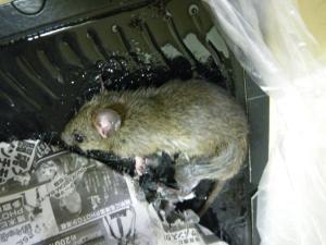 クマネズミの画像 p1_6